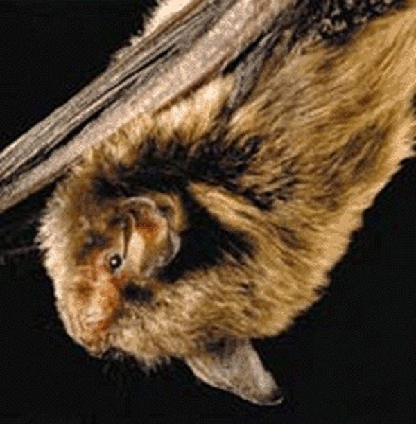 Indiana_Bat_FWS 2