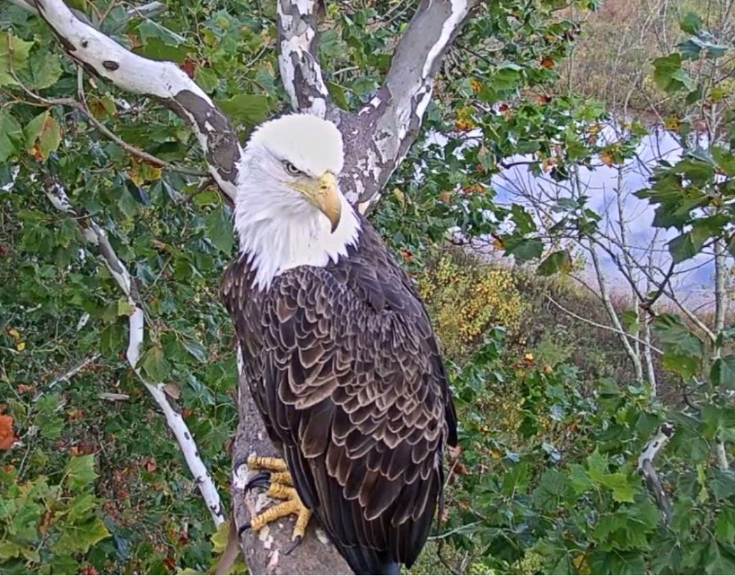 Image of Bald Eagle outside nest