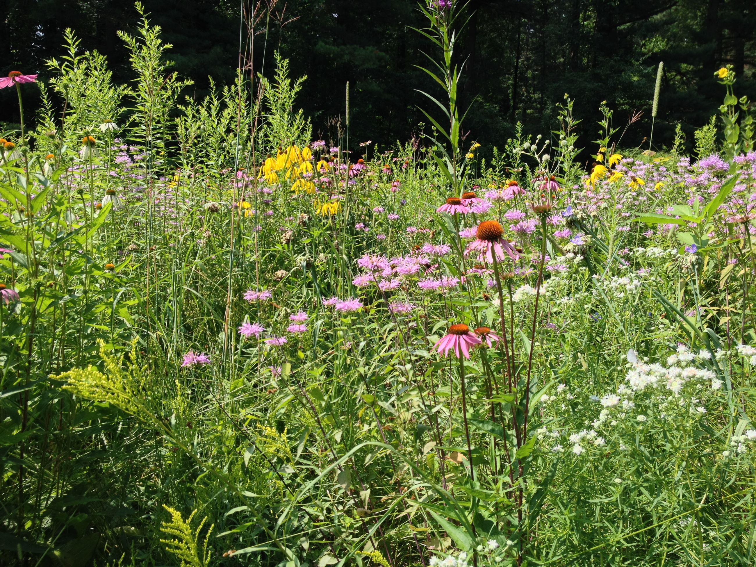 Bendix Woods prairie in bloom