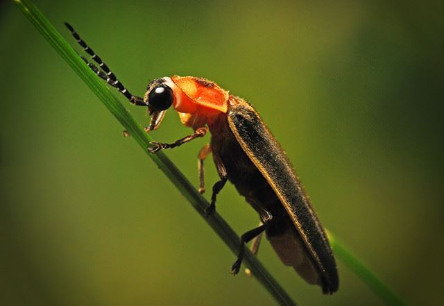 Firefly on blade of grass